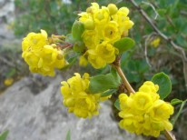 Berberis vulgaris flowers